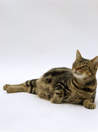 Domestic Cat, Pregnant Tabby Cat, 4-Days Before Giving Birth to Eight ...