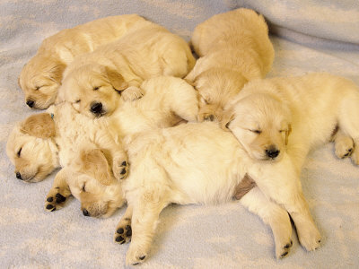 pictures of puppies sleeping. Sleeping Golden Retriever Puppies Photographic Print. zoom. view in room