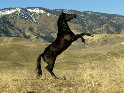 wild horse rearing up image search - 45.5KB
