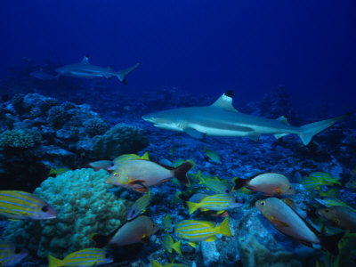 Blacktip Reef Sharks Swimming Polynesia Photographic Print