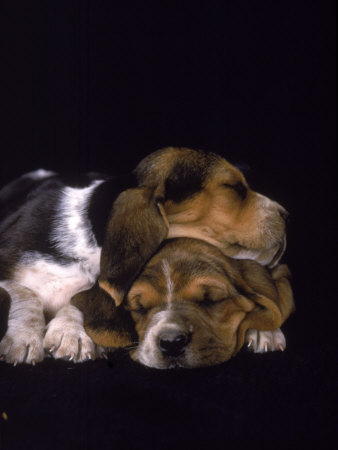 pictures of puppies sleeping. Basset Hound Puppies Sleeping Photographic Print. zoom. view in room