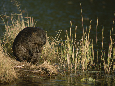 A Wet Beaver Sitting in a Clump of Grasses at the Waters Edge Photographic
