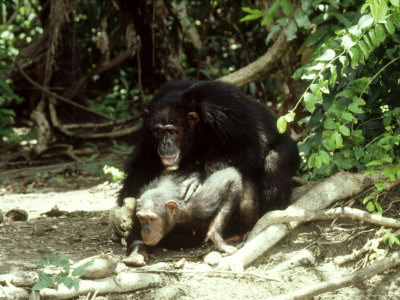 Chimpanzee, Male Adult Mating with Female Adult Photographic Print