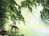 Lone White-Tailed Deer Drinking Water from Banks of Cheat River