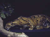Rare Clouded Leopard Crouching near Tree  Asia