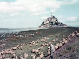 Shepherd Tending Flock of Sheep  Mont Saint Michel  a 13th Cent Abbey and Town on Brittany Coast