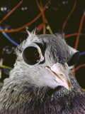 Research at Univ of Maryland Testing the Visual Acuity of Pigeon Shown Wearing Glued-On Goggles
