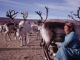 Woman Milking Her Herd of Reindeer Outer Mongolia