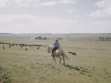 Cowboy on White Horse Watches Cattle Scattered over Vast Green Plain  Somewhere in Western US