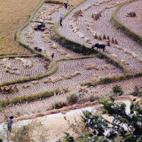 Food: Chinese Farmers Harvesting in a Rice Field
