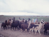 Herd of Black  Brown and White Llamas Walking Through Field with Indian Herdsman  Bolivia