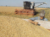 Farmer Examining Harvest of Oats in Large Cart  with Combine and Field of Growing Oats in Back