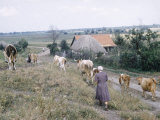 Russian Look of the Land Essay: Peasant Women Driving Cattle Along Dirt Road in Ukrainian Farmland