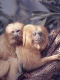 Primates: Golden Tamarin Mormoset