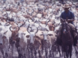 Cowboys Herding Zebu Cattle on Miranda Estanica Ranch  in the Pantanal of Southwestern Brazil