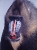 Mandrill Monkey at the Bronx Zoon