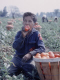 Boy Wearing an Old Scout Shirt  Eating Tomato During Harvest on Farm  Monroe  Michigan