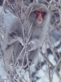 Japanese Macaques in Shiga Mountains of Japan