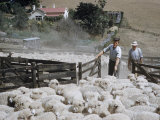 Sheep Farmers and their Flock in New Zealand