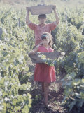 Grape Harvesters at the Conchay Toro Vineyards  Chile