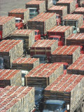 Farmers' Trucks  Each Carrying an Average of 400-500 Lugs of Tomatoes  Outside Campbell's Soup Co