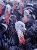Broad Breasted Bronze Turkeys on Turkey Farm