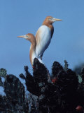 White Egrets with Fawn-Colored Head  Indonesia