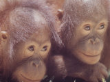 Orangutans in Captivity  Sandakan  Soabah  and Malasia  Town in Br North Borneo