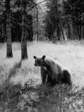 Bear in Woods in Yellowstone National Park