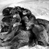 Sled Dogs Sleeping