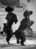 French Poodles Standing on Hind Legs