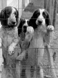 English Springer Spaniels at Elias Cornell Vail's Kennel  Best Field-Dog Trainer in the US