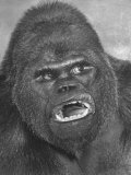 Gargantua  Giant Gorilla in 11 Ton Cage  Winter Quarters of Ringling Bros Barnum and Bailey Circus