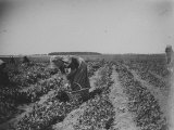 Woman Picking Peas on a Farm in Canarsie