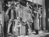 Two Museum Paleontologists Assembling Complete Styracosaurus  American Museum of Natural History