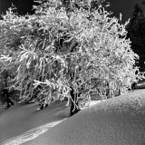 Tree Covered in Snow on Alpine Slopes of Winter Resort