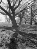 Trees on the Nelson Doubleday Plantation
