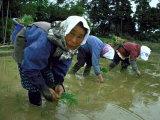Women Planting Rice in Paddy  Kurobe  Toyama Prefecture