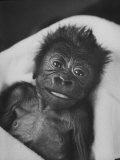 Newborn Gorilla Born in an Ohio Zoo Posing for a Picture Papier Photo par Grey Villet