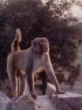 Indian Monkeys