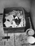 Butch  Eder Family's Toy Terrier  Sleeping on Bed of Soft Rags in Box at Top of the Cellar Stairs