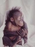 Orangutan Felix and Gigi  St Louis Zoo