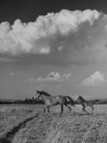 Mare and Colt Running across Open Field  with Billowy Clouds in Sky