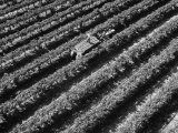 Subject: Aerial of Grape Harvest Workers Fresno  California