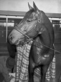 Championship Horse Seabiscuit Standing in Stall after Winning Santa Anita Handicap