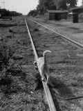 Alley Cat Serenely Walking the Tracks