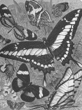 Textbook Illustration of Various Species of Butterflies