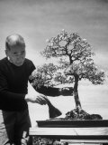 Keibun Tanaka Brushing Away Fallen Leaves of a Bonsai Maple Tree in Garden  Suburban Tokyo