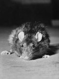 Rat Being Used in an Experiment at Michigan University