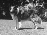 "Full-Length Side View of Collie ""Lassie"""